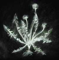Dandelion (Expanded CD Edition)